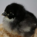 "Australorp Chick • <a style=""font-size:0.8em;"" href=""http://www.flickr.com/photos/54958436@N05/7780828922/"" target=""_blank"">View on Flickr</a>"