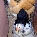 "Bantams in the Garden Coop • <a style=""font-size:0.8em;"" href=""http://www.flickr.com/photos/54958436@N05/7780858770/"" target=""_blank"">View on Flickr</a>"