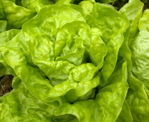 Tennis Ball Lettuce at 1840 Farm