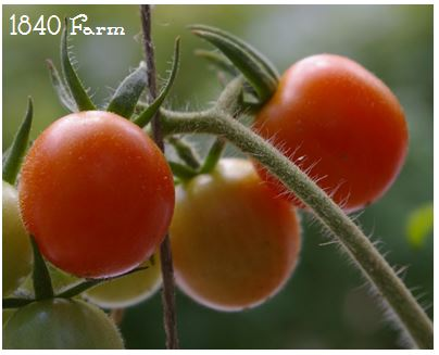 Isis Candy Cherry Heirloom Tomatoes at 1840 Farm