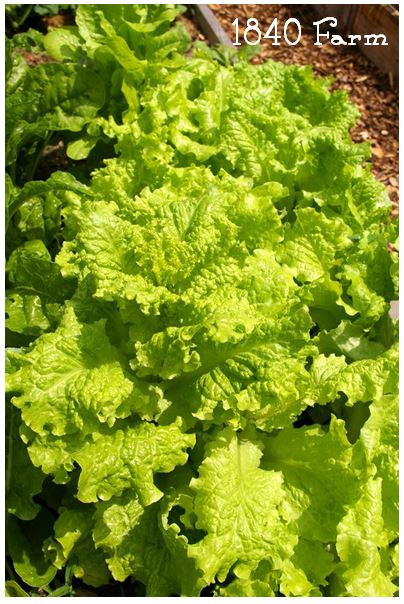 Black Seeded Simpson Heirloom Lettuce at 1840 Farm