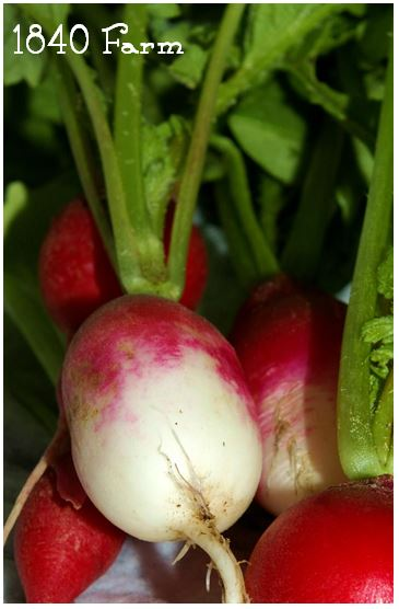 French Breakfast Heirloom Radishes at 1840 Farm