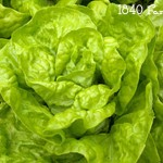 Tennis Ball Heirloom Lettuce at 1840 Farm