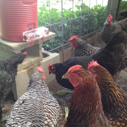 The Hens at 1840 Farm using the BriteTap