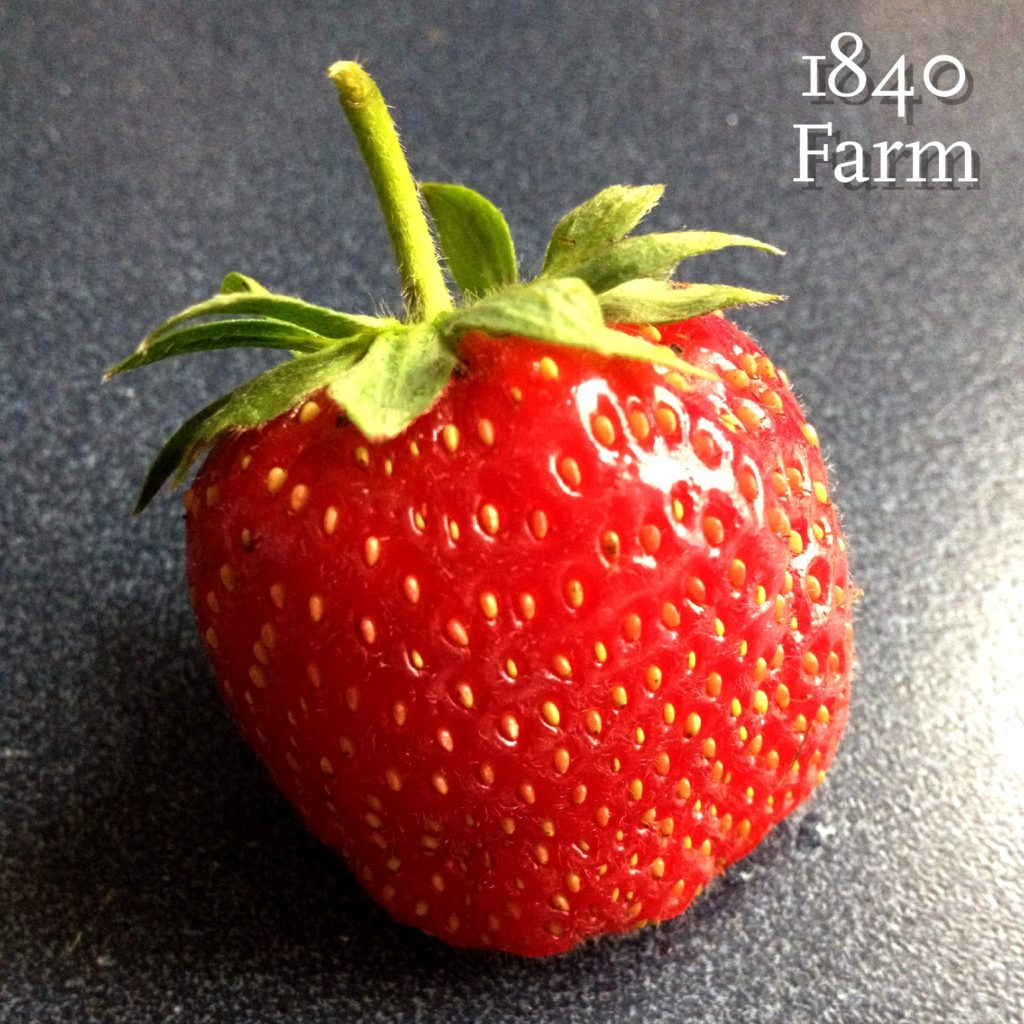 Ripe Strawberry at 1840 Farm
